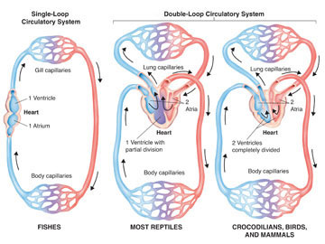 structures functions and evolution of human heart Human body structure and function  muscle (limbs, heart,  complex an organ system perform complex functions for the organism.